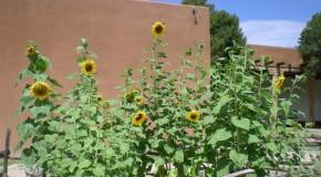 Monster Sunflowers