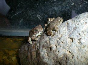 Baby Spadefoot Toads