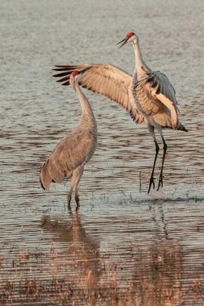 Sandhill Cranes Flying OverKuaua