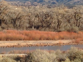 Canada Geese at the RioGrande