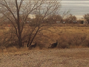Turkeys Come Back to Kuaua Pueblo!