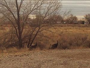 Wild turkey 1.jpg